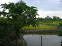 Fish, paddy and papaya thumbnail