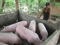 Pigs thumbnail